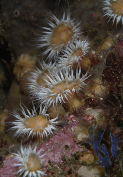 White-striped Anemone (Anthothoe albocincta)