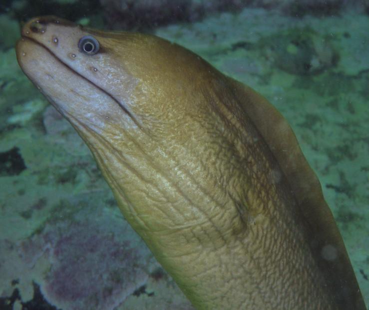 Eel II