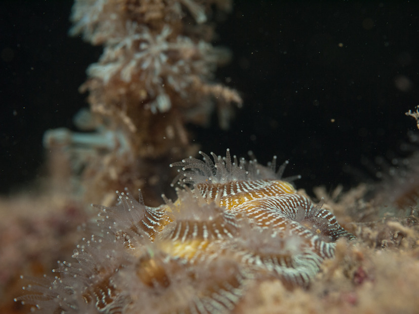 Soft coral on the deck of the East Tangat wreck