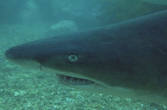 Grey Nurse Shark II