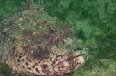 Eastern Red (ish) Scorpionfish