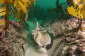 A Jackson in the kelp is worth two in the ...